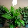 Купила азалію квітучу в горщику, пройшов місяць все осипалося: квіти і навіть листя. Чому?