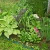 Подскажите про примулу японського (канделябровие) у кого росте? Як зимує? Який догляд? Підмосков`ї