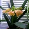 Купила цибулину глоксинії, вона виросла близько 30см - ні квітів, ні бутонів. Це нормально?