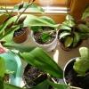 Скажіть, іван-мокрий і бальзамін - це одне і теж рослина, чи ні?