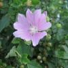 Лаватера тюренгенская - ідеальний квітка або злісний бур`ян? Чи варто пускати хатьма на город?