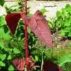 Лобода садова, салатна, овочева рослина