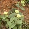 Лікарська рослина очиток великий: опис, догляд, застосування