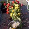 Літня посадка троянд