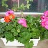 Влітку купили хризантему в горщику, щас вона майже відцвіла, що з нею далі робити?