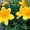 Лилейники в дизайні саду, сорти лілійників, розмноження, селекція