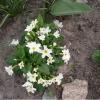 Шановні цветовоби, підкажіть, як вирощувати примули?