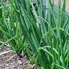 Лук-шалот: властивості, вирощування, застосування