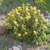 Магонія, вічнозелена рослина в саду