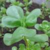 Маленький овочевий експеримент: вирощування портулаку з насіння в домашніх умовах