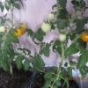 Маленьке сонечко на підвіконні - вирощування томата «помаранчева» і «жовта шапочка»