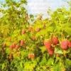 Малина, основні помилки при вирощуванні малини
