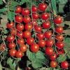 Дрібноплідний, але дуже плідний - сорт томата «червона гроно»: фото і опис сорту