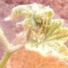 Заходи та засоби боротьби з павутинним кліщем на огірках: в теплиці і на ділянці