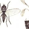Методи боротьби зі шкідниками городніх культур: знищуємо личинки мух