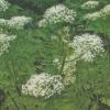 Мірріс, або ладан, опис, фото, родич петрушки, умови вирощування
