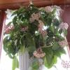 Мені подобається квітуча хойя (на картинках бачила) а ось в догляді вона примхлива? Або варто прикупити?