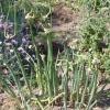 Багатоярусний цибуля для ранньої зелені