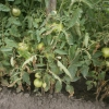 Мої правила догляду за томатами у відкритому грунті