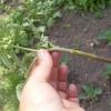 Мій досвід порятунку розсади томатів