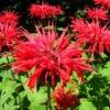 Монарда - корисне і ароматне прикраса вашого саду