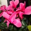 Чи можна вдома тримати квітка цикламен європейський (дрявка)