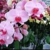 Найбільш поширені хвороби орхідей фаленопсис і їх лікування