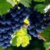 Народні засоби для боротьби з хворобами винограду