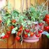 Насолоджуйтесь томатами «балконний диво» цілий рік! Як виростити в домашніх умовах з насіння і всі тонкощі вирощування помідорів