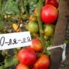 Справжній високоврожайний южанин - сорт томата «о-ля-ля-ля»: фото, опис і особливості вирощування