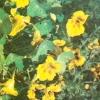 Настурція, капуцини - лікарська рослина, приправа і квітка
