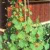 Настурція в оздобленні саду і житла, делікатес і ліки