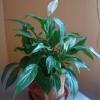 У квітки спатифиллум сохнуть кінчики листя. Що робити?