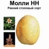 Німецький картопля сорту моллі - відмінні смакові якості і висока врожайність