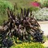 Незвичайні рослини. Моє знайомство з фіолетовим просо.