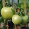 Невиправдано забутий - томат «лонг кіпер»: опис сорту і фото, коли садити розсаду