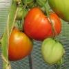 Багатий урожай помідорів у вашій теплиці - опис сорту томату «нерозлучні серця»