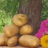 Невибагливий і урожайний картопля «тайфун»: опис сорту, фото, характеристика