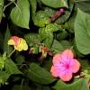 Нічна красуня в квітнику