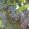 Нормування навантаження виноградних кущів залежно від сорту