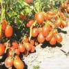 Новітній сорт томата «петруша городник»: характеристика і опис помідорів, вирощування, фото дозрілих плодів, боротьба з шкідниками