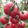 Новинка, яка заслуговує на увагу - томат «малинова рапсодія»: опис сорту