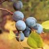Нові сорти гібридного терну - аличевий, запашний (№ 10-17), вишневий (вішнеслівовий), абрикосовий, краснолістний