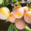 Нові сорти плодово-ягідних культур, новинки селекції 2012 року