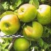 Нові триплоїдні сорти яблуні, створені під внііспк і північнокавказького зонального ванні садівництва і виноградарства