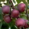 Про успадкування ознаки колонновидной і перспективи народної селекції сортів колонновидной яблуні