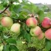 Про негативні наслідки перевантаженості яблуні урожаєм