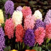 Чи обов`язково зрізати під час цвітіння тюльпани, нарциси та гіацинти, тим самим надаючи