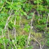 Обрізка кущів малини