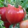 Дуже ранній сорт великоплідних томатів «велика матуся»: опис характеристик, поради по вирощуванню